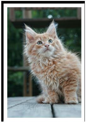 Le Maine Coon est un grand chat avec de grandes oreilles, une poitrine large, une ossature et une musculature forte, un corps rectangulaire et musclé,